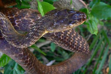 snake removal brisbane